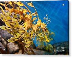 Leafy Sea Dragon Phycodurus Eques. Acrylic Print by Jamie Pham