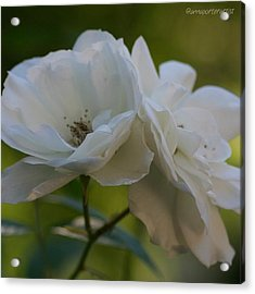 Lean On Me White Roses In Anna's Gardens Acrylic Print
