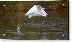 Leaping Egret Acrylic Print