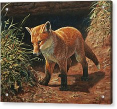 Red Fox Pup - Learning Acrylic Print