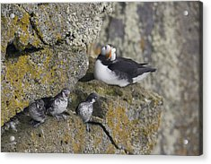 Least Auklets Perched On A Narrow Ledge Acrylic Print by Milo Burcham