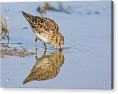 Least Sandpiper With A Reflection  Acrylic Print