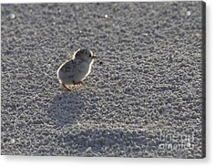 Least Tern Chick Acrylic Print by Meg Rousher
