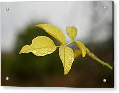 Leaves Acrylic Print by Cora Brum