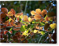 Leaves Of Light Acrylic Print by Tim Rice