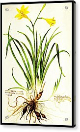 Acrylic Print featuring the drawing Lemon Daylily Botanical by Rose Santuci-Sofranko