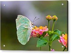 Lemon Emigrant Butterfly Acrylic Print