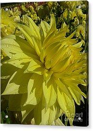 Acrylic Print featuring the photograph Lemon Yellow Dahlia  by Susan Garren