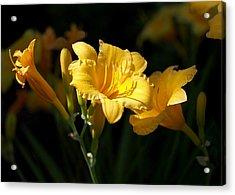 Lemon Yellow Daylilies Acrylic Print by Rona Black