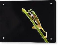 Lemur Leaf Frog Acrylic Print