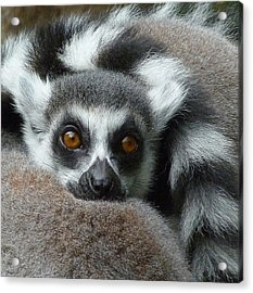 Lemur Leisure Time Acrylic Print by Margaret Saheed