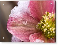 Acrylic Print featuring the photograph Lenten Rose by Cathy Donohoue