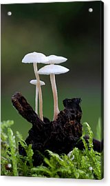 Lentil Shanklet Fungus Acrylic Print