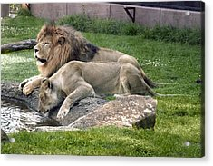 Leo And Una - Twin Male And Female Lions At The University Of North Alabama Acrylic Print