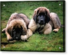 Leonberger Puppies Acrylic Print