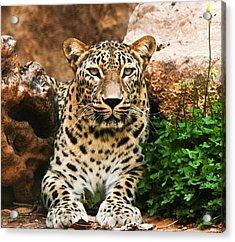 Leopard Acrylic Print by Amr Miqdadi