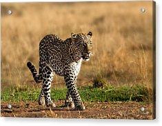 Leopard Binti Masai Mara Acrylic Print by Maggy Meyer