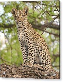 Leopard Cub Gaze Acrylic Print