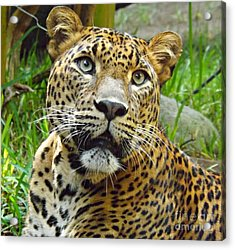 Leopard Face Acrylic Print by Clare Bevan