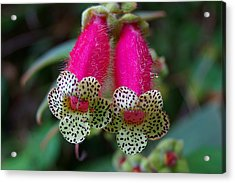 Leopard Flower - K. Digitaliflora Acrylic Print by Blair Wainman