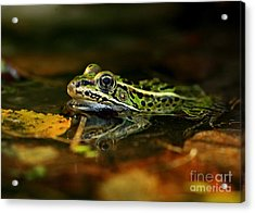 Leopard Frog Floating On Autumn Leaves Acrylic Print by Inspired Nature Photography Fine Art Photography
