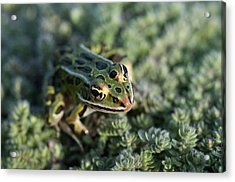 Leopard Frog In Wooly Thyme Acrylic Print