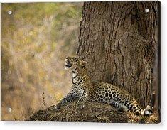 Leopard Gazing Up Acrylic Print by Alison Buttigieg
