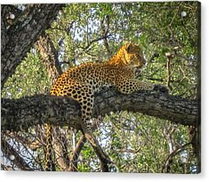 Leopard In A Tree Acrylic Print