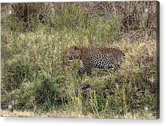 Leopard In The Grass Acrylic Print