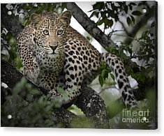 Leopard In Tree Acrylic Print