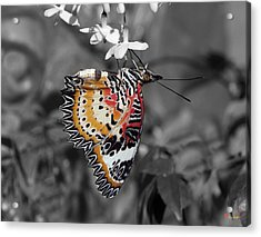 Acrylic Print featuring the photograph Leopard Lacewing Butterfly Dthu619bw by Gerry Gantt