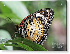 Leopard Lacewing Butterfly Acrylic Print by Judy Whitton