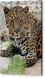 Leopard Lounging 1 Acrylic Print by Diane Alexander