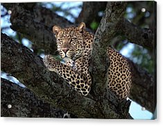 Leopard Male In A Tree In The Serengeti Acrylic Print by Maggy Meyer