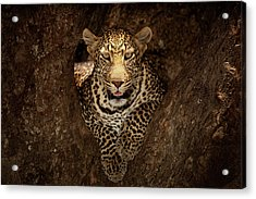 Leopard Resting On A Tree At Masai Mara Acrylic Print by Ozkan Ozmen Photography