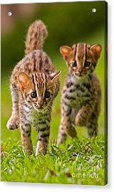 Leopard Stampede Acrylic Print by Ashley Vincent
