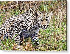 Leopard Stare Acrylic Print