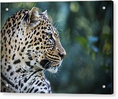 Leopard's Look Acrylic Print by Jaki Miller