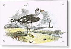 Lesser Black Backed Gull Acrylic Print by English School