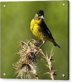 Lesser Goldfinch Milkweed Thistle Acrylic Print by James Ahn