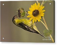 Lesser Goldfinch On Sunflower Acrylic Print by Bryan Keil