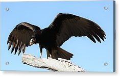 Lesser Yellow Headed Vulture Acrylic Print by Paulette Thomas