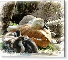 Let Sleeping Ducks Lie Acrylic Print