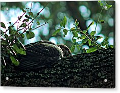 Let Sleeping Hawks Lie Acrylic Print