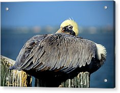 Let Sleeping Pelicans Lie Acrylic Print by Susan Molnar