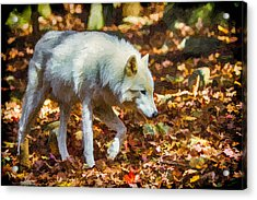 Let The Timber Wolf Live Acrylic Print by John Haldane