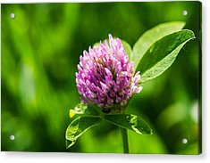 Let Us Live In Clover - Featured 3 Acrylic Print by Alexander Senin