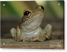 Let's Talk - Cuban Treefrog Acrylic Print by Meg Rousher