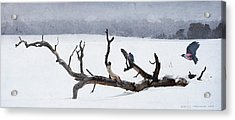 Letting Go  -  Lewis Woodpeckers Acrylic Print by R christopher Vest