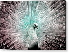 Leucistic White Peacock Acrylic Print